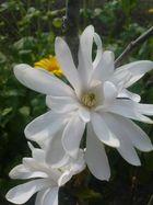 * weiße Magnolie *