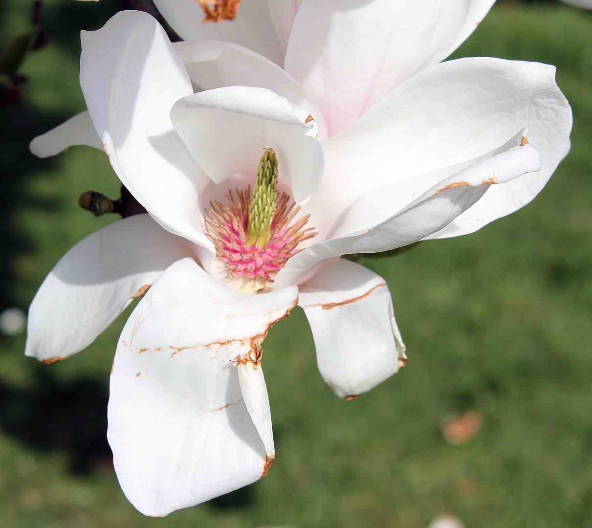 Weisse Magnolienblüte