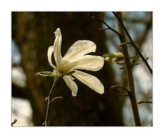 Weiße Magnolienblüte