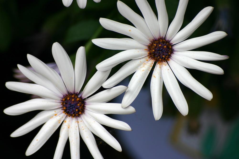 Weiße Margerite (?)