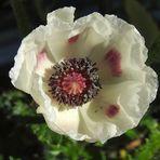 Weiße Mohnblüte
