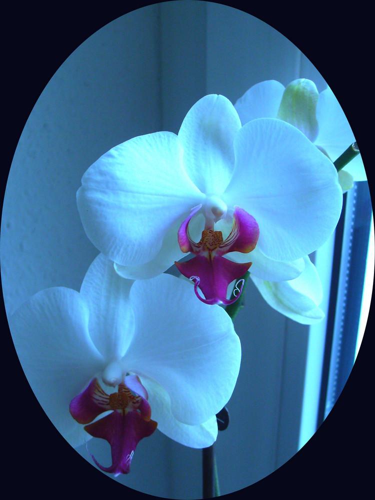 Weiße Orchidee !