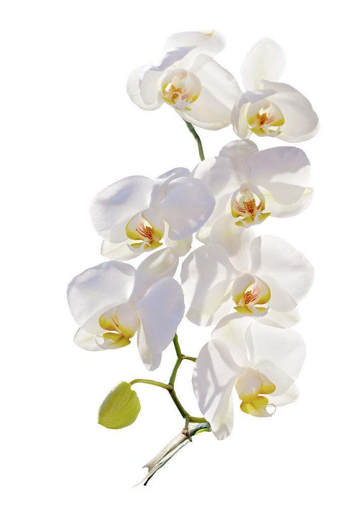 Weiße Orchidee