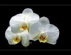 [  weiße Orchidee  ]