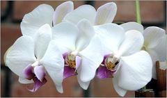 ... weiße Orchideen ...