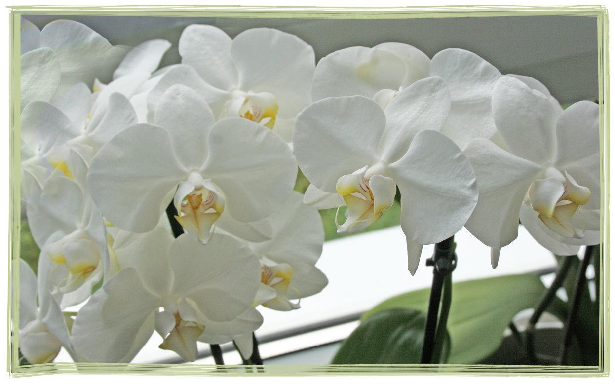 Weiße Orchideenblüten