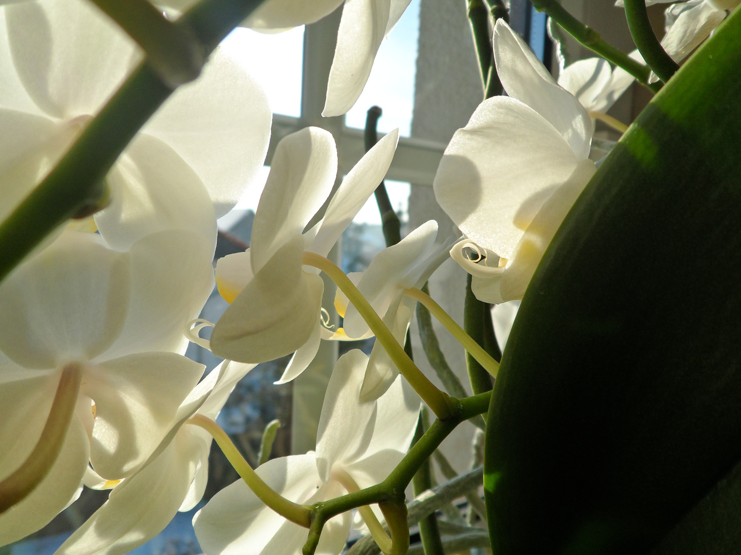weisse Orchidee(Phal.)