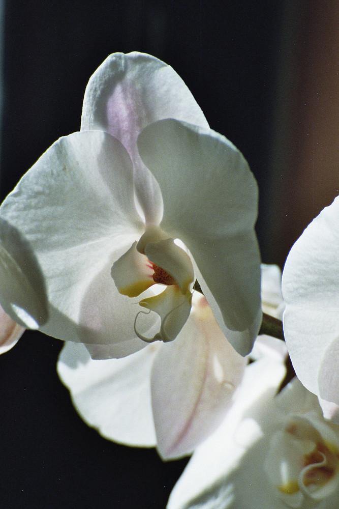 weiße Phalaenopsis