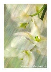Weisse Phalaenopsis
