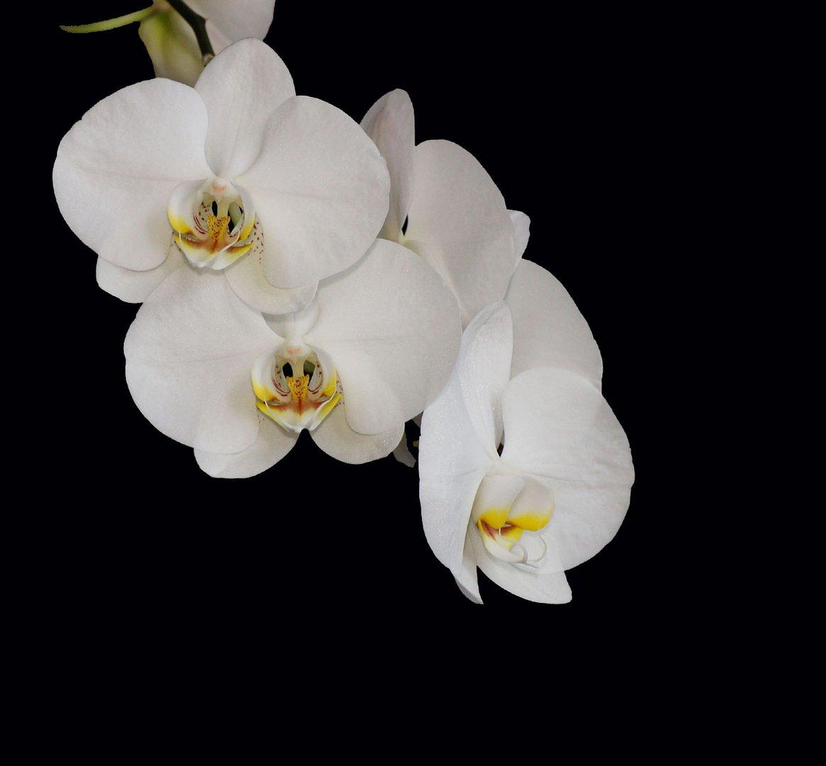 Weisse Phalaenopsis (Orchidee).