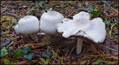 Weiße Pilze ...
