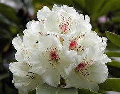 weiße Rhododendronblüte mit rot
