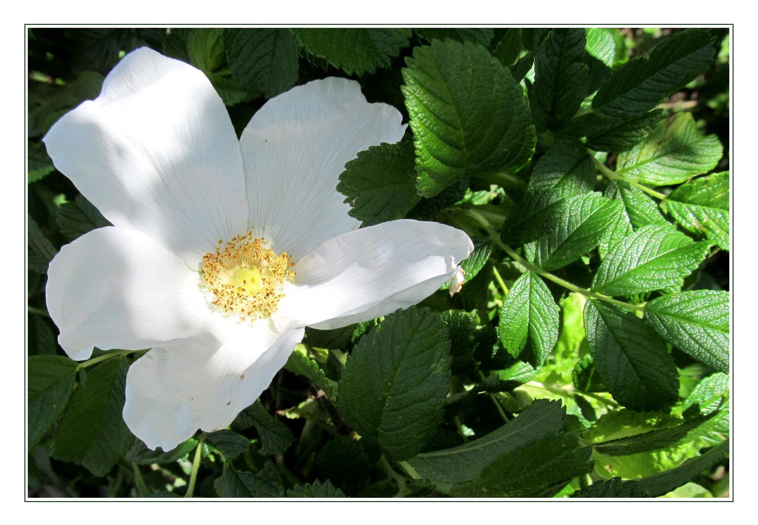 wei e rosa rugosa foto bild pflanzen pilze flechten bl ten kleinpflanzen. Black Bedroom Furniture Sets. Home Design Ideas
