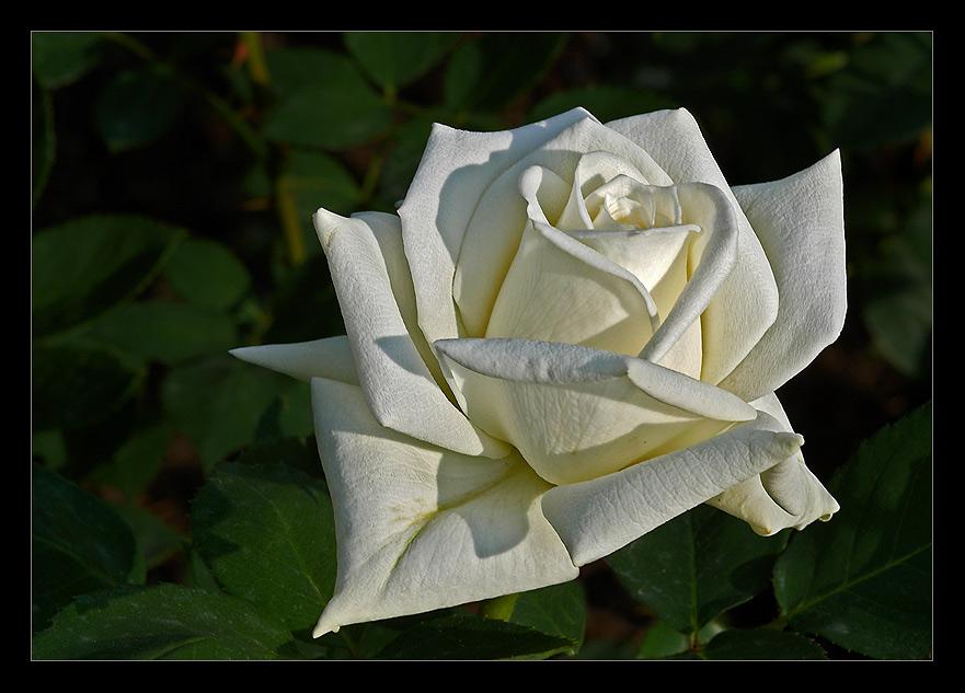 Weisse Rose...
