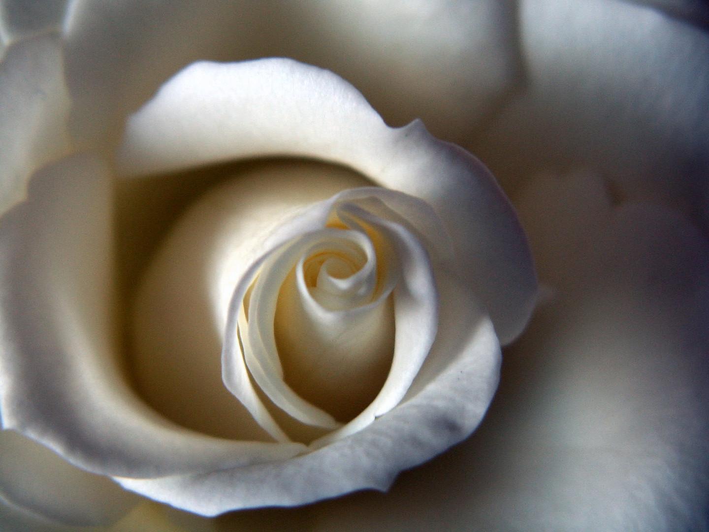 ---weiße Rose---