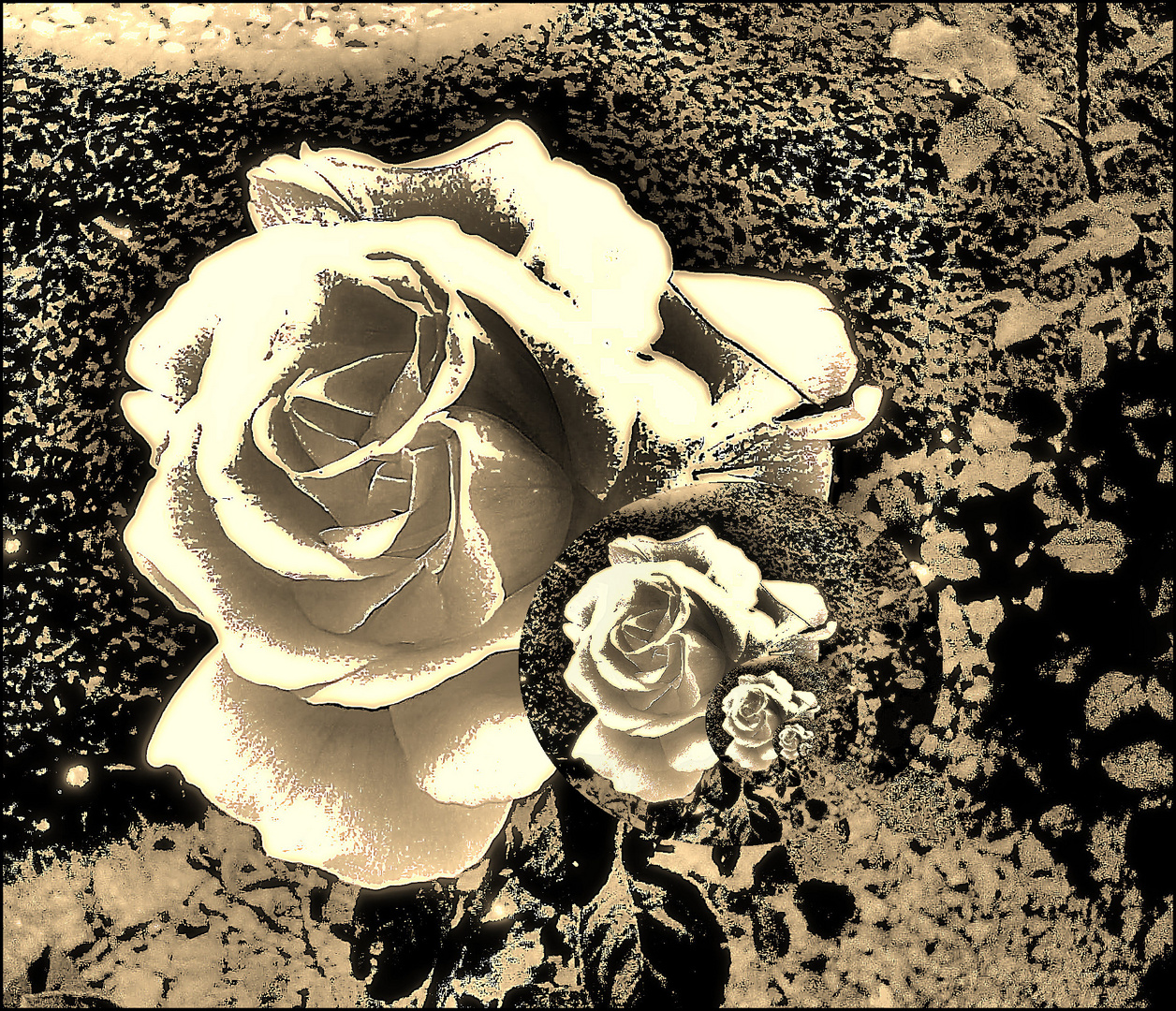 Weiße Rose abstrakt