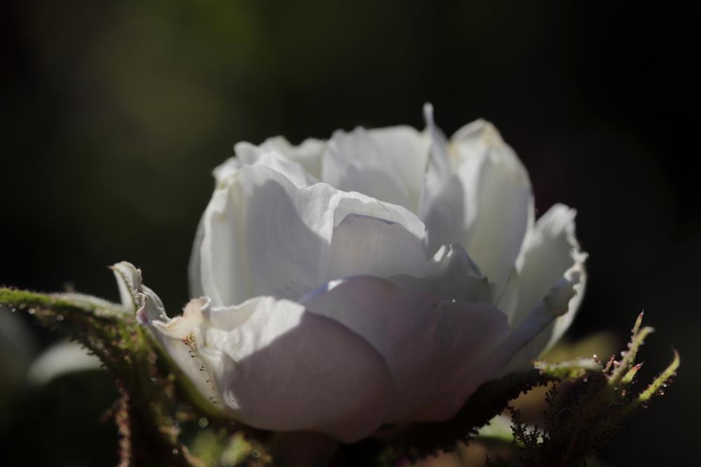 weiße Rose am Abend