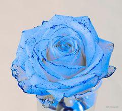 Weiße Rose, blau gefärbt....