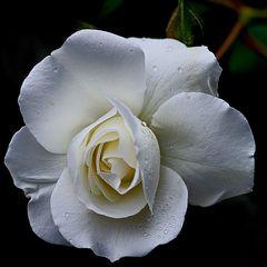 Weisse Rose dunkel