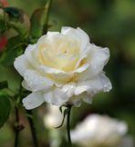 Weiße Rose im Regen