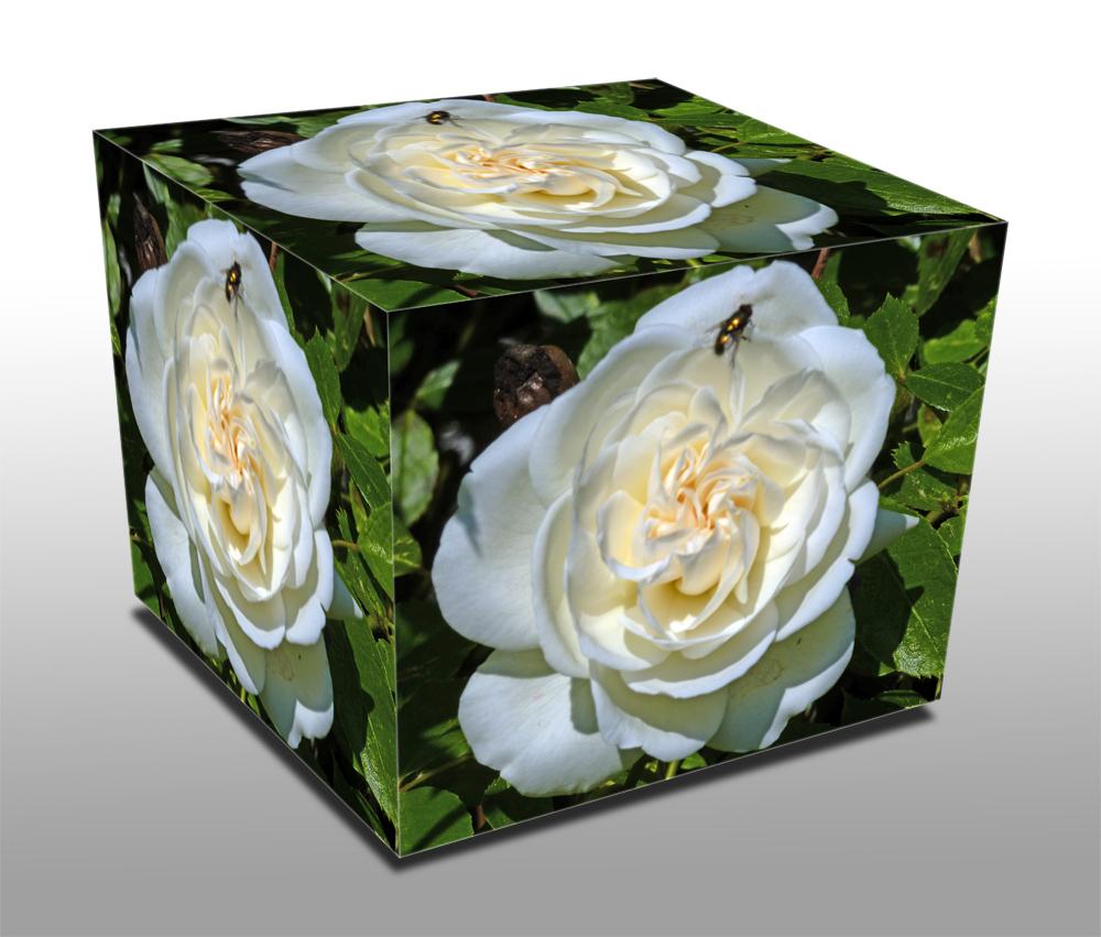 Weiße Rose mit Besuch