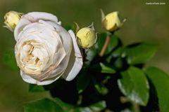 Weisse Rose mit gelben Sateliten