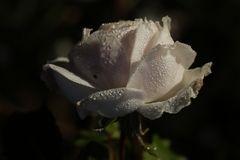 Weiße Rose mit Morgentau