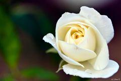 weisse Rose mit Regentropfen