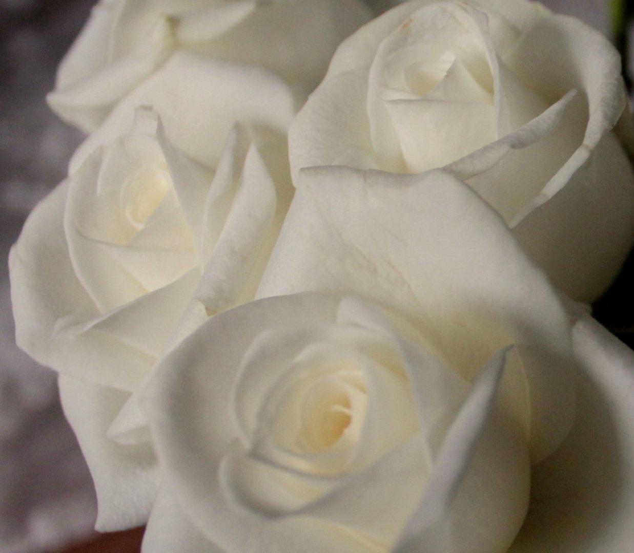 wei e rosen foto bild pflanzen pilze flechten bl ten kleinpflanzen rosen bilder. Black Bedroom Furniture Sets. Home Design Ideas