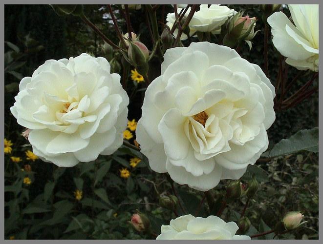 Weiße Rosen aus Ahten...