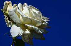 Weiße Rosen aus Athen, veräppelt ... aus Oberhausen!!!