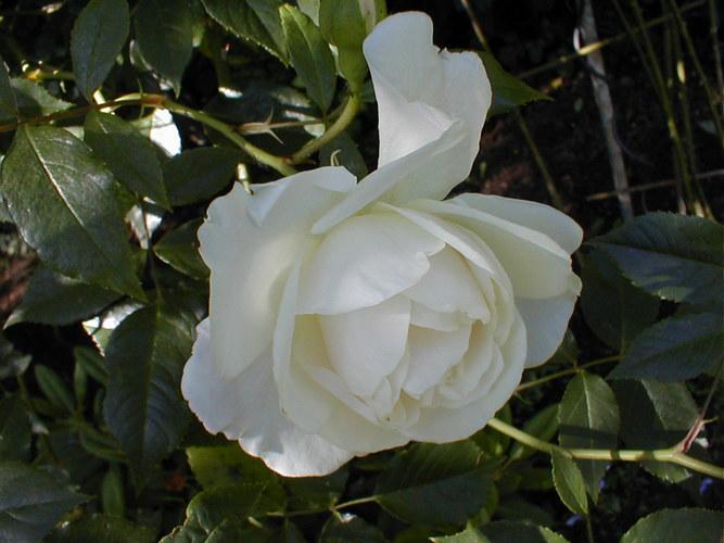 Weisse Rosen aus NRW