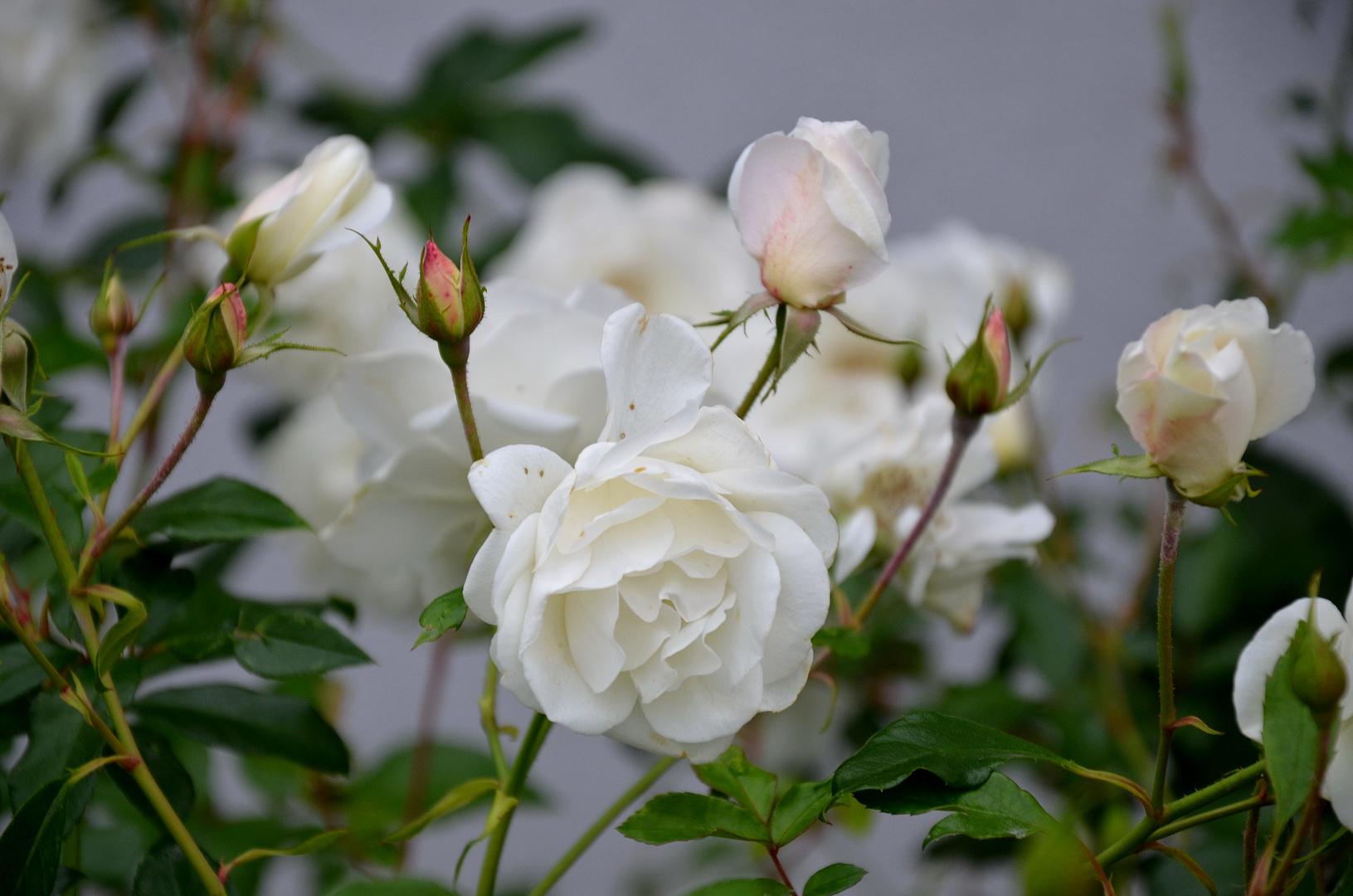 Weisse Rosen im Herbst - 1