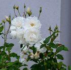 Weisse Rosen im Herbst - 2