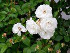 Weisse Rosen im Herbst - 6