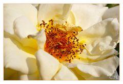 Weiße Rosen sterben nicht...