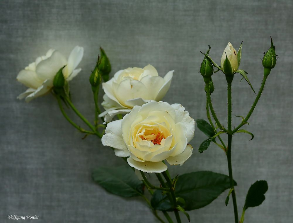 Weiße Rosen zum Wochenende.