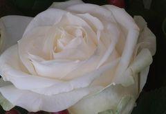 weisse Rosenblüte