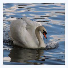 Weiße schönheit Schwan