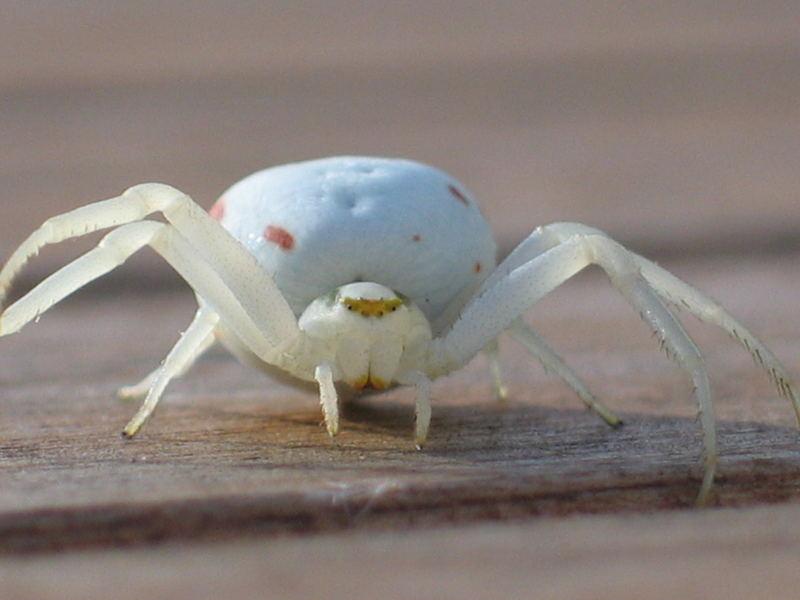 Weisse Spinne