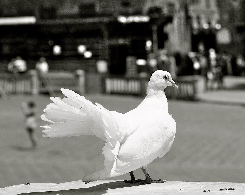 Weiße Taube Gesehen Bedeutung