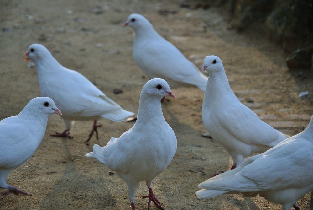 Weiße Tauben Bedeutung