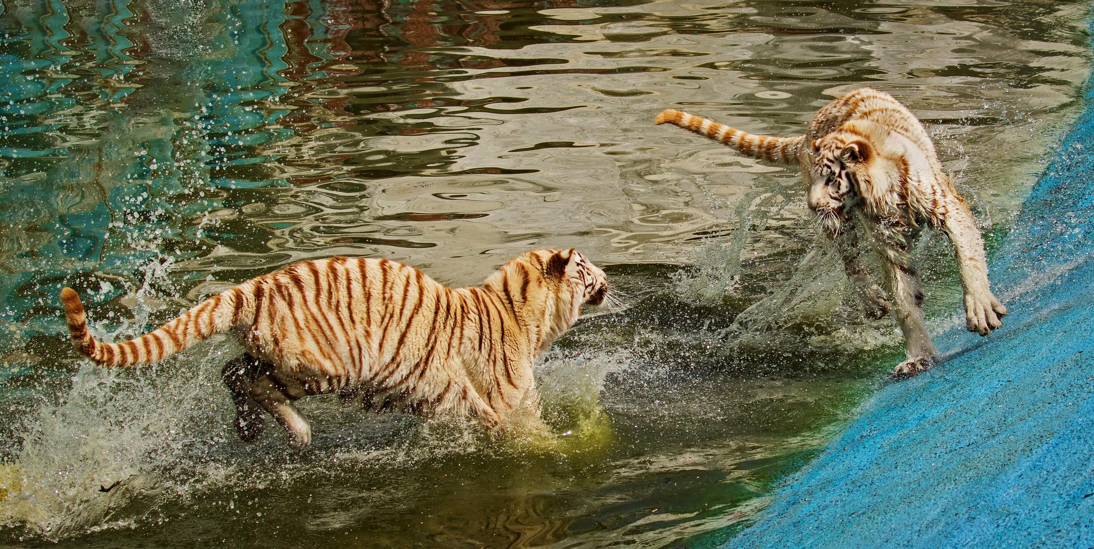 Weiße Tiger 006
