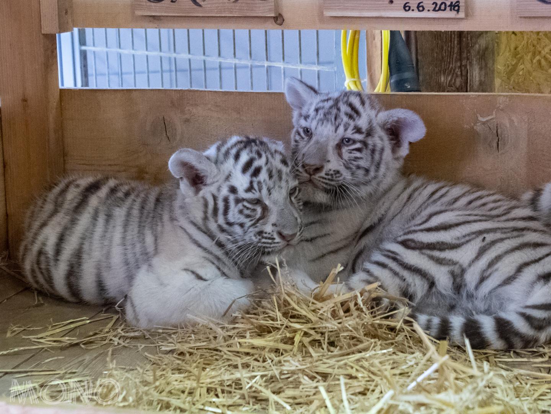 Weiße Tiger Babys Foto Bild Natur Zoo Tiere Bilder Auf