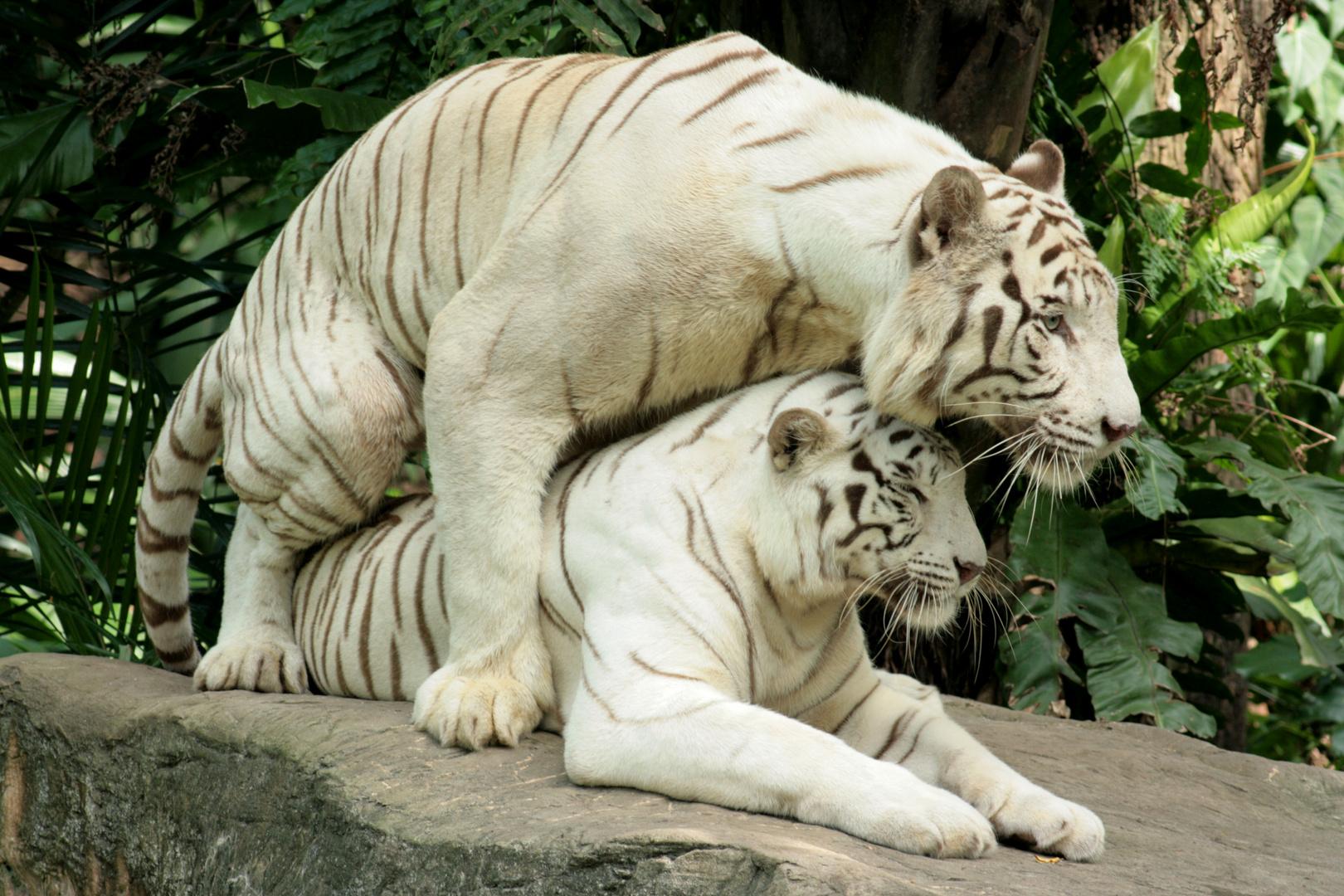 Weiße Tiger im Zoo von Singapur - das muss Liebe sein...