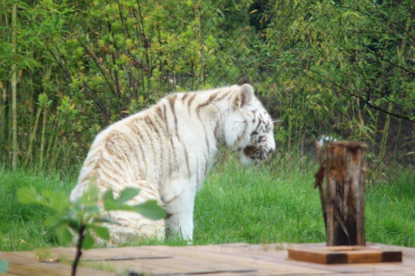 Weiße Tiger (Panthera tigris), Amneville Zoo, Frankreich.