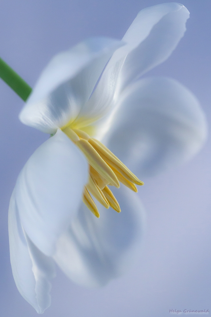weiße Tulpe I