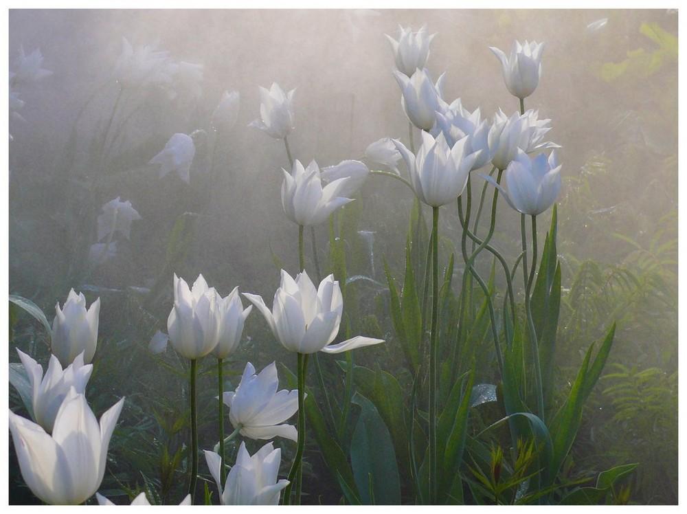 Weiße Tulpen Im Nebel Foto & Bild