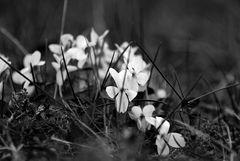 weiße Veilchen