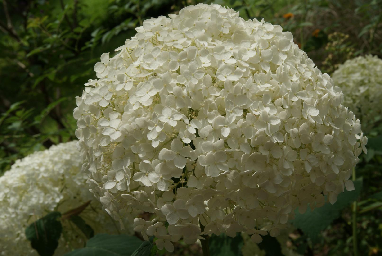 wei e waldhortensie foto bild pflanzen pilze flechten bl ten kleinpflanzen. Black Bedroom Furniture Sets. Home Design Ideas